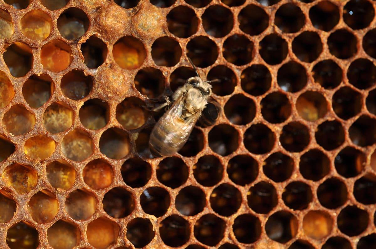 Sociétés d'abeilles, sociétés humaines, une interdépendance de la préhistoire au futur